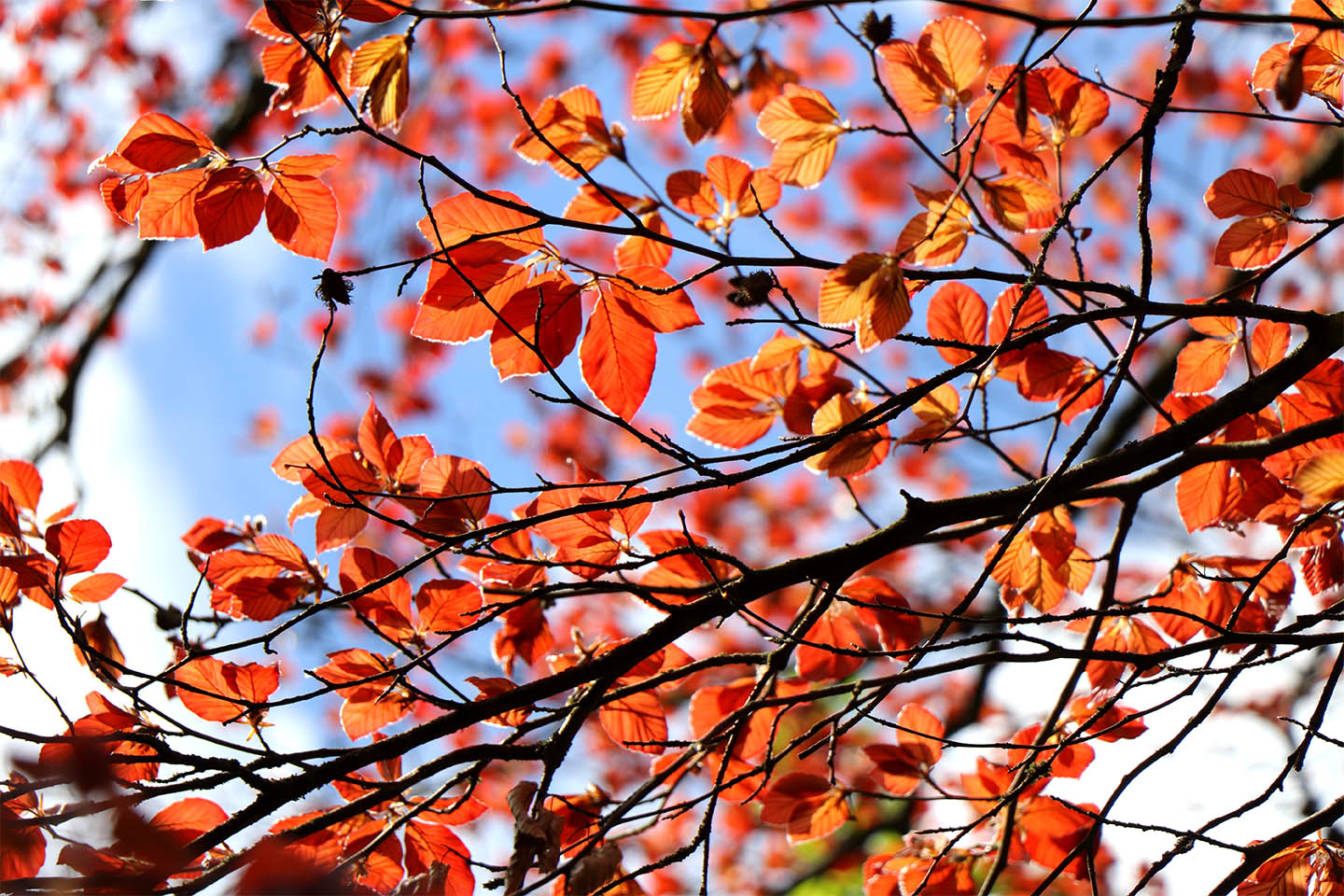 Copper beach (Fagus sylvatica Purpurea) foliage against blue sky
