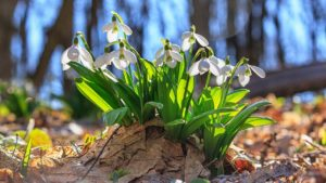 Galanthus nivalis or common snowdrop - blooming white flowers